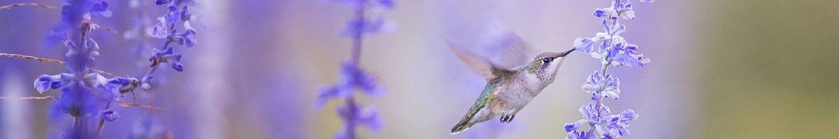 pano-colibri-1